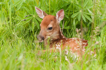 Wall Mural - White-Tailed Deer Fawn (Odocoileus virginianus) Lies in the Grass