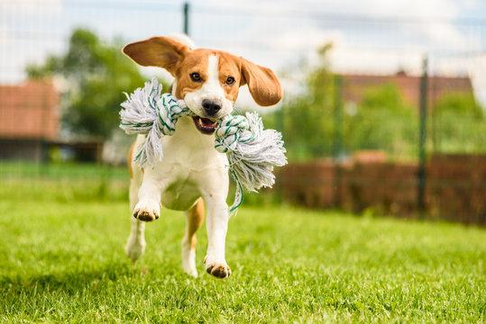 Dog run Beagle fun