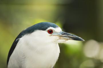 bright red eyed heron