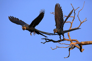 Two Hyacinth Macaws Taking Off from a Branch. Pantanal, Brazil