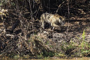 Jaguar Walking along the River Bank, Pantanal, Brazil