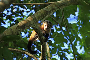 Young Tufted Capuchin Monkey Looking down from a Branch. Amazon Rainforest, Brazil
