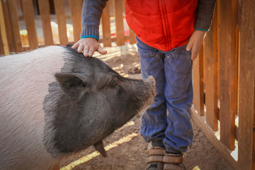 Little boy with pig in petting zoo