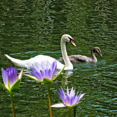 image of swans on water closeup