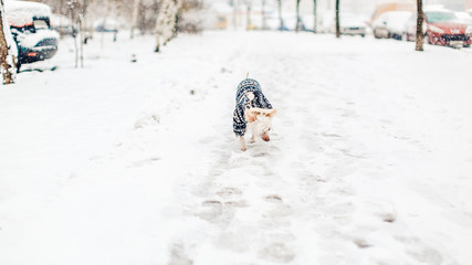 Chinese crested dog and snow