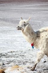 Lama reserve naturelle Eduardo Avaroa sud Lipez Bolivie