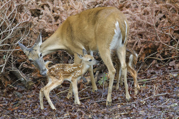 Female white-tailed deer (Odocoileus virginianus) grooming newborn fawns, Georgia, USA