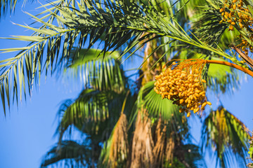 Closeup of colourful dates clusters.  Branches of date palms under blue sky