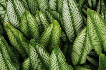 Wall Mural - Green leaf with white stripes of Calathea majestica , tropical foliage plant nature leaves pattern on dark background.