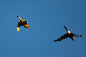 Male and female Northern Shovelers, flying in beautiful light