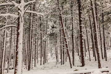 Frosty weather blasts a forest of trees with snow.