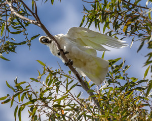 An Australian Sulphur-crested Cockatoo (Cacatua galerita) sitting on a branch, with a blue sky background