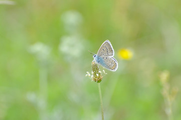Common Blue butterfly - polyommatus icarus. Isolated butterfly on grass with a beautiful green background.