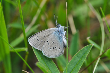 Cupido minimus, Small Blue butterfly. One of the smallest butterfly in Europe in natural habitat