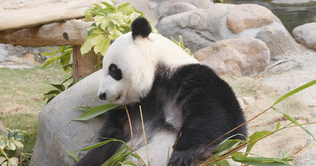 Fototapete - Panda eating bamboo