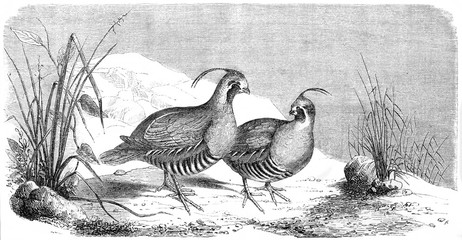 Couple of ancient birds walking on a rocky ground surrounded by small vegetation. California quail (Callipepla californica). By Rouyer published on Le Tour du Monde Paris 1862
