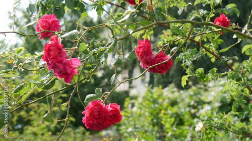 Beibehang natura fiore moderna d carta da parati giardino di rose