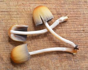 coprinus saccharinus mushroom