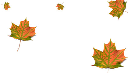 Maple leaves on white background, collage.