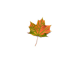 One maple leaf on a white background.