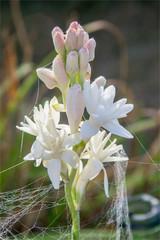 Fleur tubéreuse dans un jardin à Verneuil-sur-Seine dans les Yvelines en France