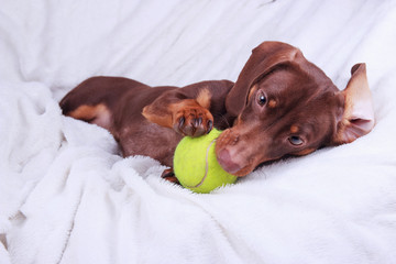 Dachshund puppy playing with yellow tennis ball on white ground
