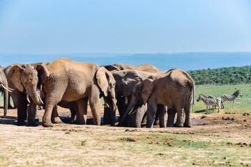 Elefanten trinken am Wasserloch in Südafrika