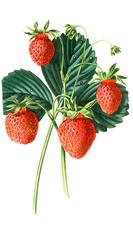 Illustration of strawberries.