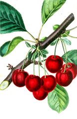 Illustration of cherry.