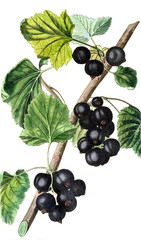 Illustration of a black currant.