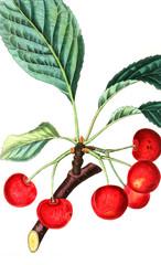 Illustration of cherry.