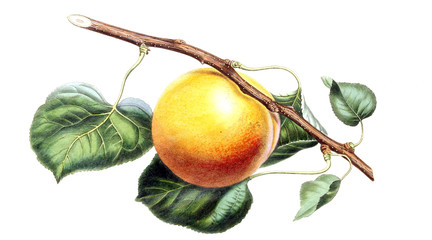 Illustration of an Apple.
