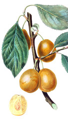 Illustration of a yellow plum