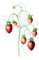 Illustration of strawberries.