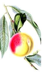 Illustration Of A Fruit.