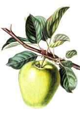 Illustration of an Apple.