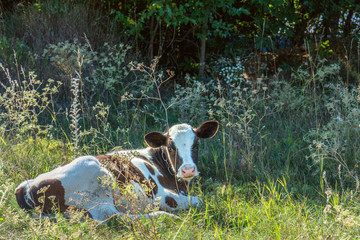 Cow grazing and resting on a pasture in the summertime.