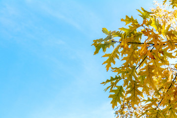 Autumn leaves sky background. Autumn maple trees branch with yellow leaves on blue sky background.
