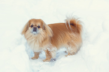 Golden pekingese walk at the snow in winter park. Walk in winter outdoors with little red pet on a yard. Best friend ever for human