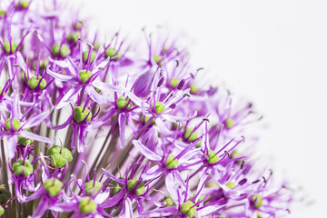Close up of a purple sensation allium