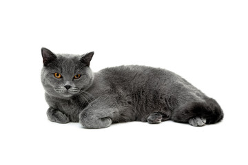 adult gray cat isolated on white background