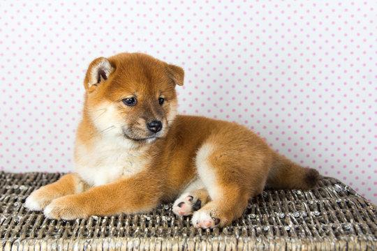 Cute Puppy breed Shiba inu