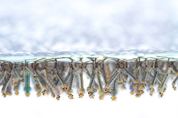 Mosquito larvae in water on white background.