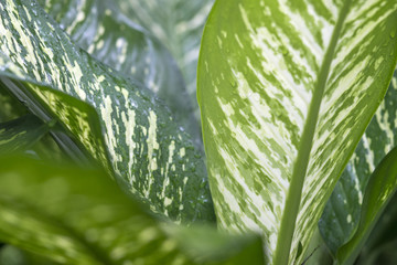 Close up evergreen houseplant(Aglaonema Lady Valentine)