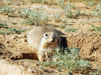 Gopher near the burrows.