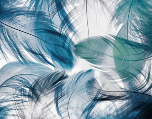 background of the many beautiful natural bird feathers of various shape blue color