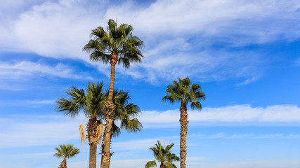 Palm trees under Cyprus blue sky with few fluffy clouds.