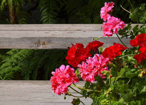 Pink and red geranium flowers in summer garden on old wooden stairs background.Ivy-leaf pelargonium flowers.Geranium Peltatum.