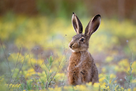 European hare stands in the grass and looking at the camera.   Lepus europaeus