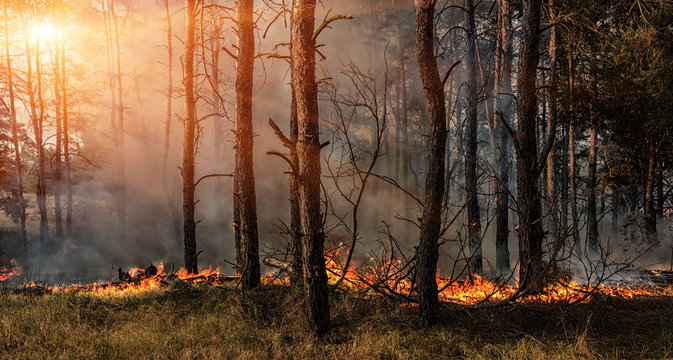 Forest fire and clouds of dark smoke in pine stands.